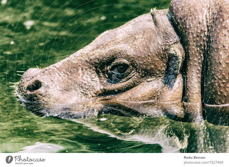 Gemeiner Nilpferd (Hippopotamus Amphibius) in Afrika Natur grün Wasser Tier natürlich Schwimmen & Baden braun wild Wildtier groß nass Fluss stark Tiergesicht