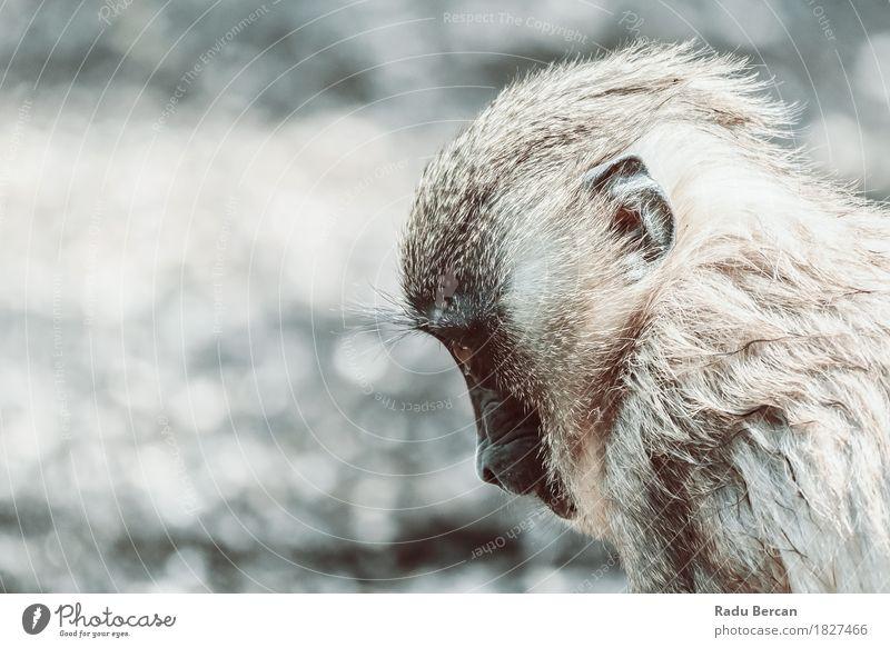 Baby-Drill-Affe (Mandrillus Leukophaeus) Natur Tier Tierjunges Umwelt Traurigkeit natürlich braun wild Wildtier retro Fröhlichkeit Beginn Abenteuer niedlich