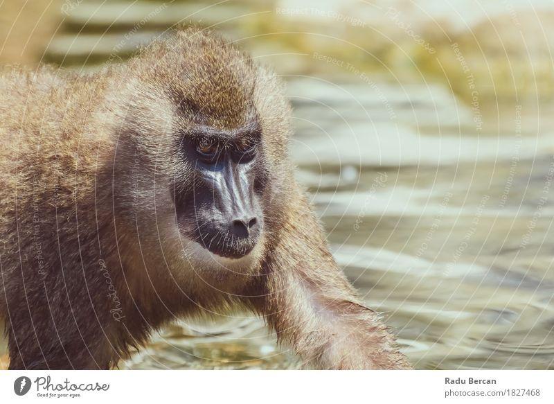 Baby-Drill-Affe (Mandrillus Leukophaeus) Natur Tier Tierjunges natürlich Gesundheit Glück braun wild Wildtier Fröhlichkeit laufen niedlich stark Afrika