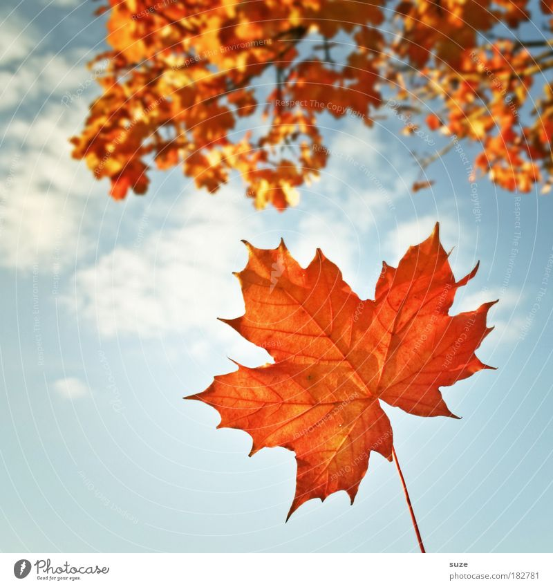 Titelblatt Natur Pflanze Himmel Herbst Wetter Schönes Wetter Blatt alt fallen ästhetisch schön Zeit Herbstlaub herbstlich Jahreszeiten Färbung orange