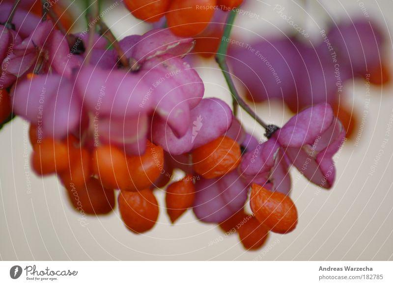 Herbsterscheinung Natur schön Pflanze ruhig Farbe Leben Blüte rosa elegant Umwelt Frucht Zeit Makroaufnahme Sträucher