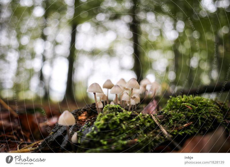 Helmlinge Natur Pflanze Tier Herbst Schönes Wetter Baum Moos Wald Waldboden Pilz Unschärfe Wachstum klein saftig viele grün mehrere Farbfoto Außenaufnahme
