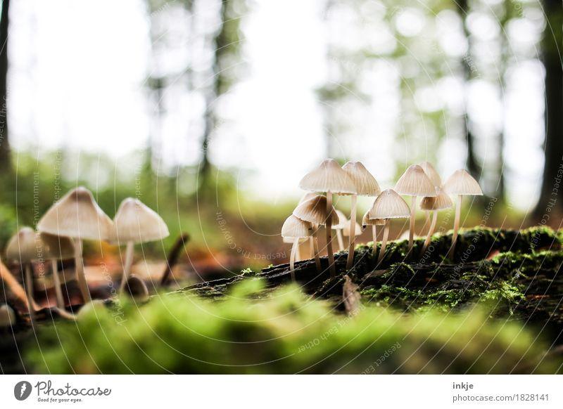 mini Lampenschirmpilze Natur Pflanze Tier Wald Herbst klein Wachstum mehrere viele Pilz Moos beige Waldboden Lamelle ungenießbar