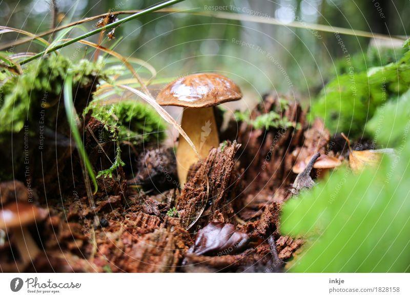 Marone nach dem Regen Natur Herbst Gras Moos Waldboden Pilz Maronenröhrling Speisepilz entdecken stehen Wachstum braun essbar Farbfoto Außenaufnahme Nahaufnahme