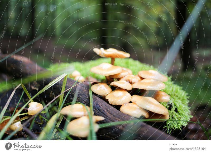 Saftlinge Umwelt Natur Pflanze Tier Herbst Moos Wald Waldboden Pilz Wachstum natürlich saftig grün mehrere ungenießbar Farbfoto Außenaufnahme Nahaufnahme