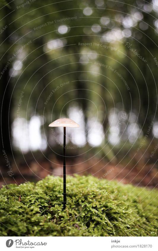 Ein Pilz - aus dem Boden geschossen. Herbst Klima Moos Wald Waldboden Wachstum dünn klein lang braun grün Natur einzeln Helmling Farbfoto Außenaufnahme