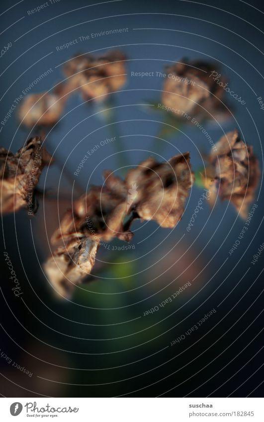 .. unverblümt verblüht Farbfoto Nahaufnahme Detailaufnahme Makroaufnahme Textfreiraum unten Unschärfe Schwache Tiefenschärfe Umwelt Natur Landschaft Pflanze
