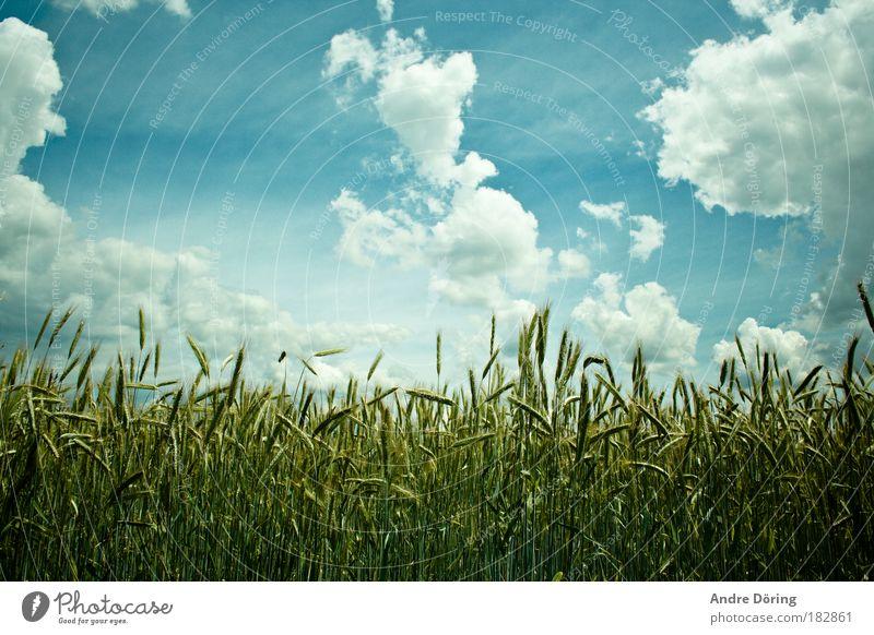 Kornfeld Farbfoto Außenaufnahme Menschenleer Tag Kontrast Sonnenlicht Zentralperspektive Natur Landschaft Pflanze Himmel Wolken Gewitterwolken Herbst Feld blau