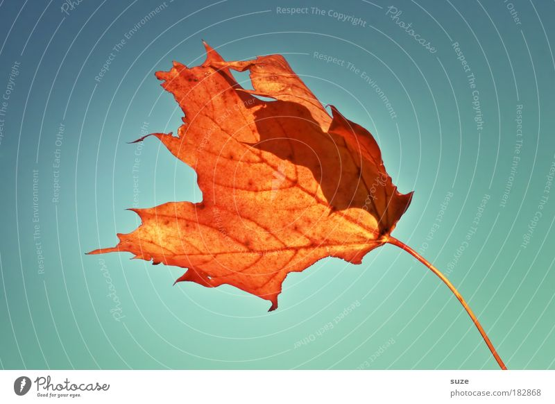 Fackel im Sturm Natur Himmel Herbst Wind Blatt alt fallen ästhetisch schön trocken Zeit Herbstlaub herbstlich Färbung orange Herbstbeginn Farbfoto mehrfarbig