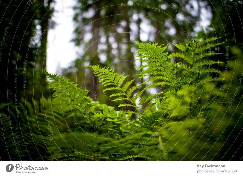 grün ;) Natur Pflanze Sommer Farn Wald schön Farbfoto Außenaufnahme Nahaufnahme Menschenleer Tag Schwache Tiefenschärfe Froschperspektive