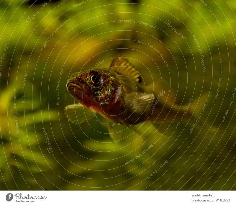 Kleiner Raubfisch Farbfoto Unterwasseraufnahme Unschärfe Schwache Tiefenschärfe Wildtier Fisch Aquarium Jagd tauchen ästhetisch grün Wachsamkeit geduldig ruhig
