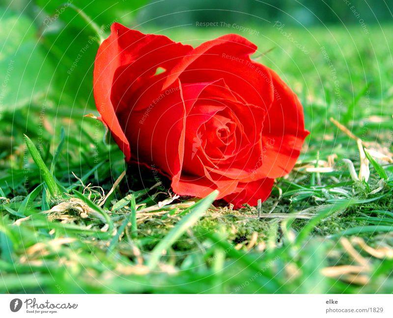 noch eine rose Rose Gras Wiese Dorn Rasen Kitsch