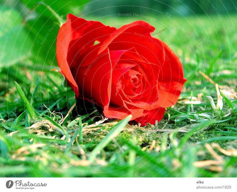 noch eine rose Wiese Gras Rose Rasen Kitsch Dorn