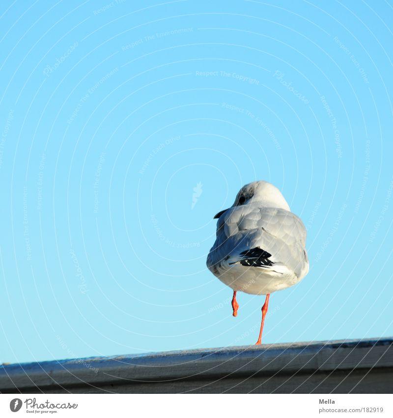 Anders sein Natur Himmel Wolkenloser Himmel Geländer Reling Tier Wildtier Vogel Möwe 1 Blick stehen außergewöhnlich frei einzigartig blau Zufriedenheit