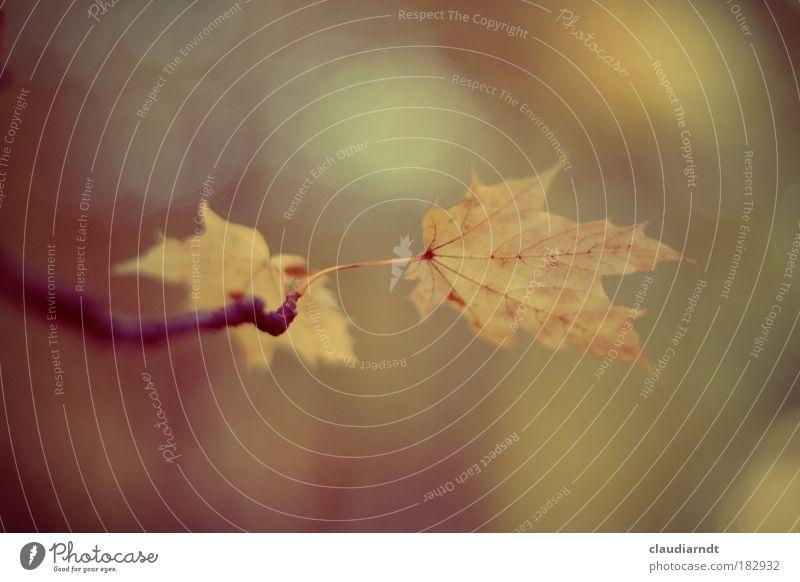 Oktober-Blues Natur alt Baum Blatt Einsamkeit Herbst Gefühle Traurigkeit Park Trauer Ast festhalten Zweig Ahornblatt Ahorn schlechtes Wetter