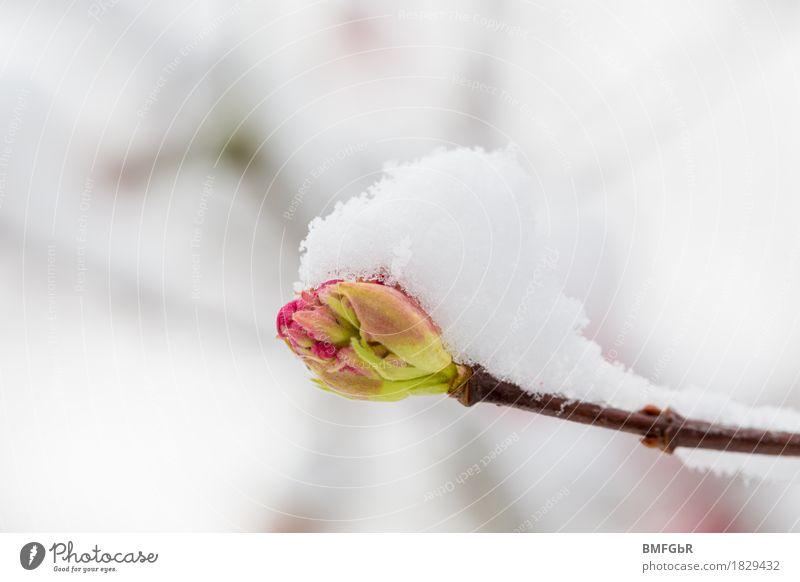 Knospe mit Schneehäubchen Umwelt Natur Landschaft Pflanze Frühling Winter Klima Klimawandel Wetter schlechtes Wetter Unwetter Eis Frost Baum Blüte Blütenknospen