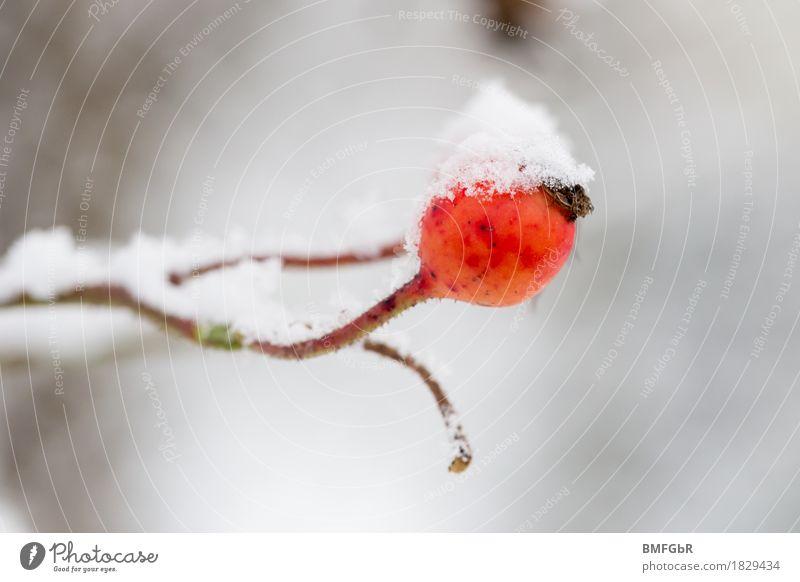 Ein Männlein steht im Walde Umwelt Natur Pflanze Winter Klima Klimawandel Wetter schlechtes Wetter Nebel Eis Frost Schnee Sträucher Hagebutten Garten Park