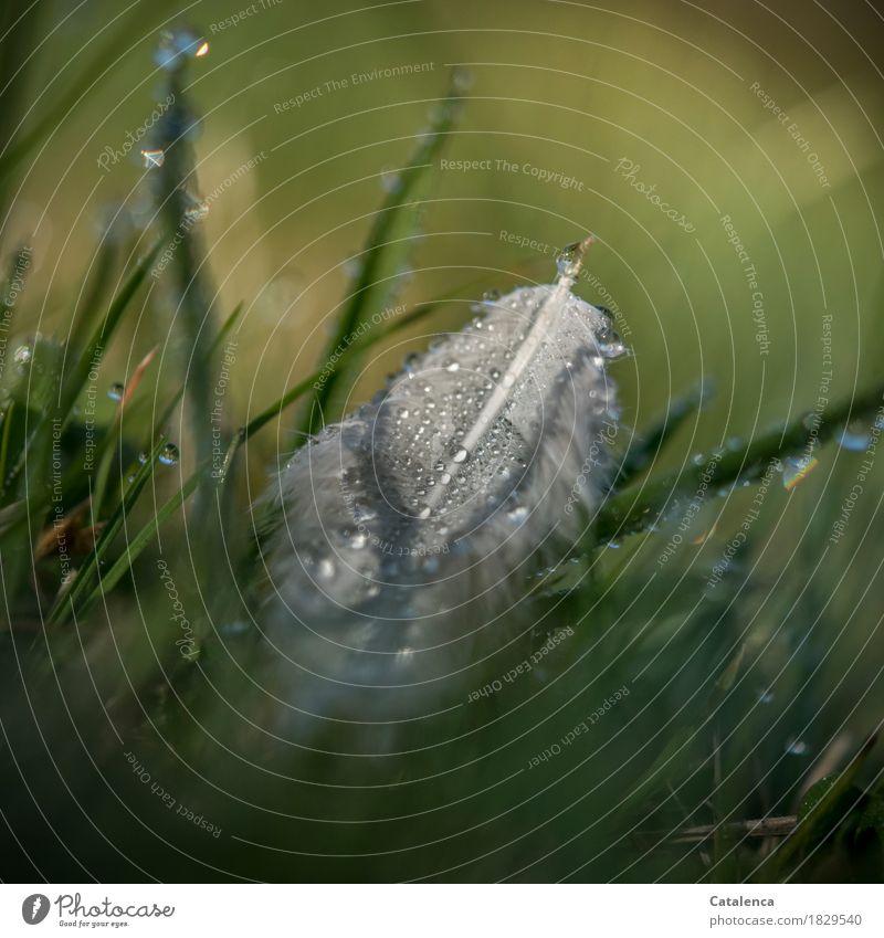 Im Frühtau Natur Pflanze Wassertropfen Herbst Wetter Gras Garten Wiese Feder glänzend nass gelb grau grün weiß Stimmung friedlich unbeständig Vergänglichkeit
