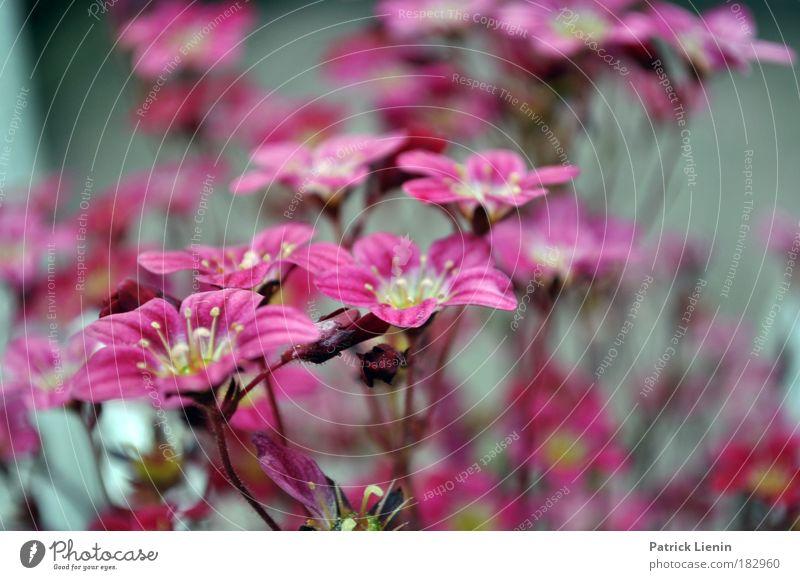 Saxifraga Natur schön Blume Pflanze Wiese Blüte Frühling Park Landschaft rosa Romantik weich Stengel exotisch Makroaufnahme Staubfäden