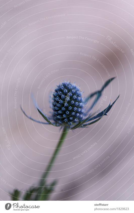 """Makro einer einzelnen Blume der blauen Distel Eryngium Pflanze Blüte grün violett Frieden """"Blau Stachelige Kratzdistel purpur stachelig natürlich stark herzhaft"""