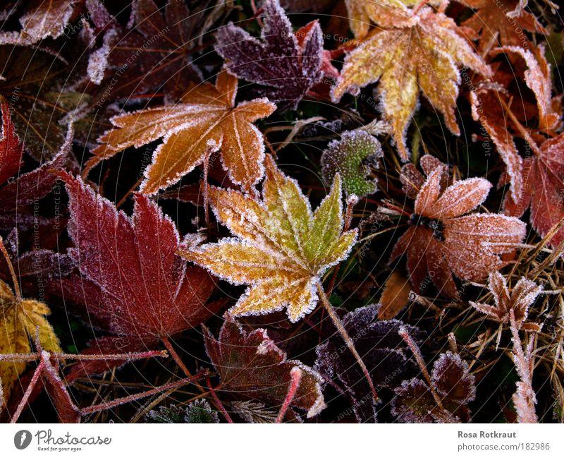 frost Natur Pflanze rot ruhig Blatt gelb kalt Wiese Leben Herbst natürlich Eis Park Warmherzigkeit Vergänglichkeit weich