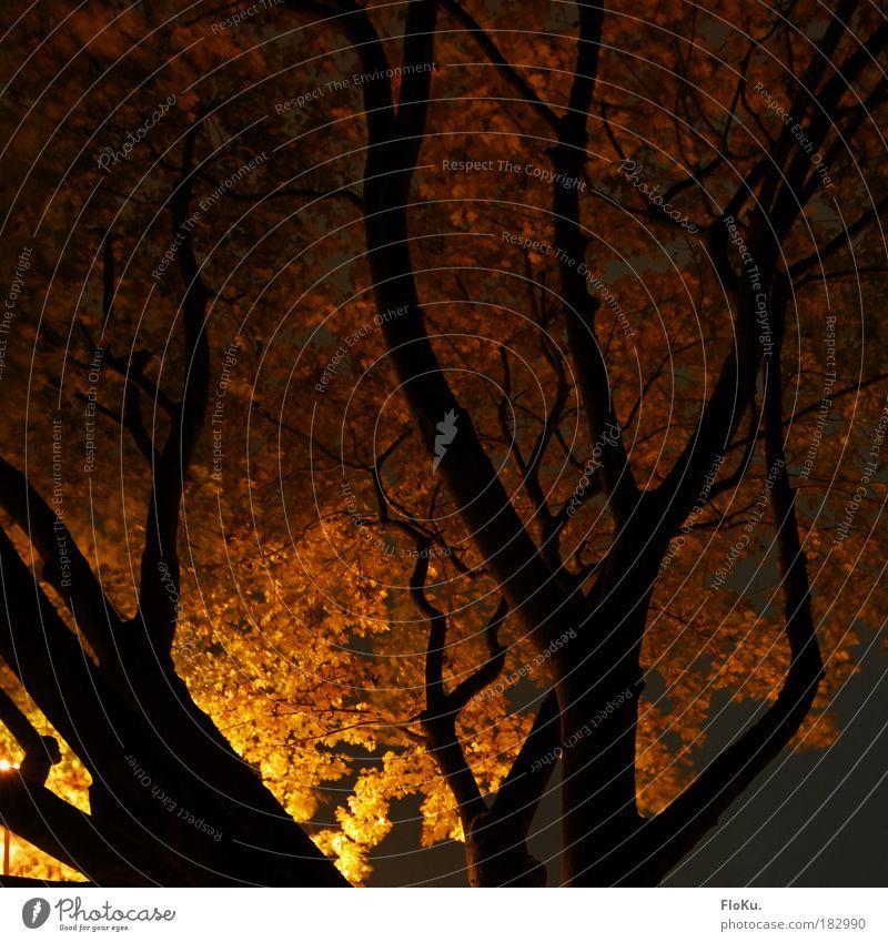 Parkspaziergang Natur Baum Pflanze Blatt schwarz gelb Herbst Wärme orange Umwelt Ast Baumstamm Baumkrone Herbstlaub Nachtaufnahme