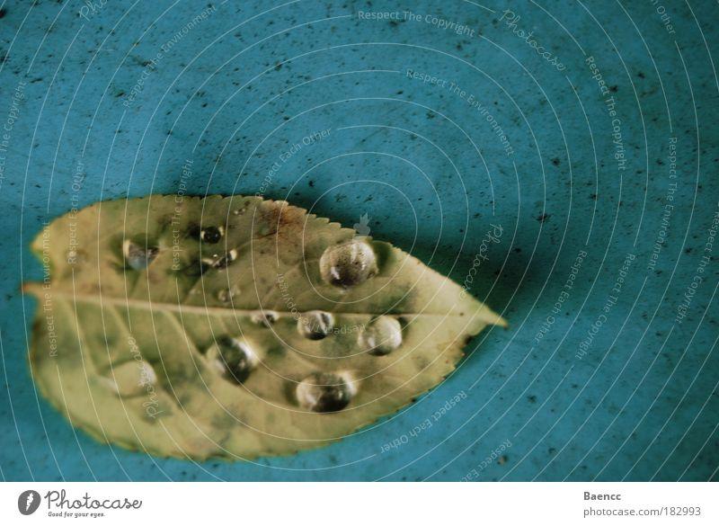 Wir sind ausser Gefahr. Natur Wasser alt grün blau Pflanze Blatt Herbst braun glänzend elegant Wassertropfen weich Zusammenhalt Blattadern Zacken