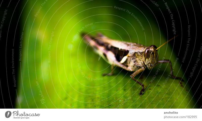 Pepe Natur grün Pflanze Blatt schwarz Tier Wiese Freiheit Umwelt Beine braun liegen natürlich Flügel Insekt Freundlichkeit