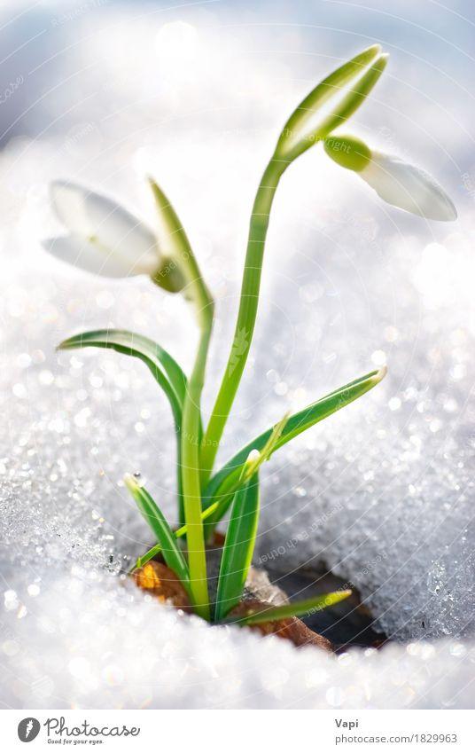 Frühlings Schneeglöckchen Blumen Natur Pflanze Farbe grün schön weiß Blatt Winter Wald Umwelt Leben Blüte Wiese natürlich