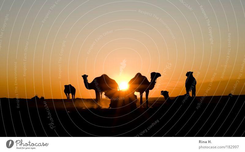 Feierabend Tourismus Mann Erwachsene Himmel Horizont Wüste Dromedar Kamel Kameltreiber Tiergruppe Arbeit & Erwerbstätigkeit Armut ästhetisch authentisch einfach