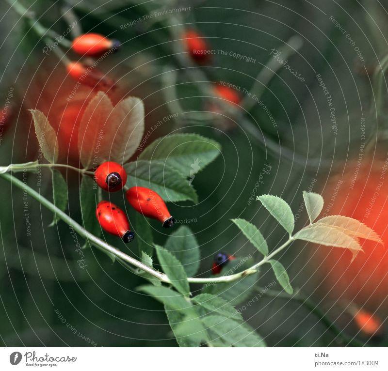 Wildrosenfrüchte Außenaufnahme Nahaufnahme Detailaufnahme Menschenleer Tag Schwache Tiefenschärfe Umwelt Natur Landschaft Tier Sommer Herbst Winter