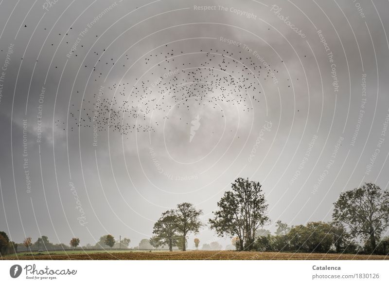 Abzug Landschaft Pflanze Tier Erde Gewitterwolken Herbst schlechtes Wetter Baum Nutzpflanze Maisfeld Feld PKW Vogel Taube Schwarm fliegen dunkel Zusammensein