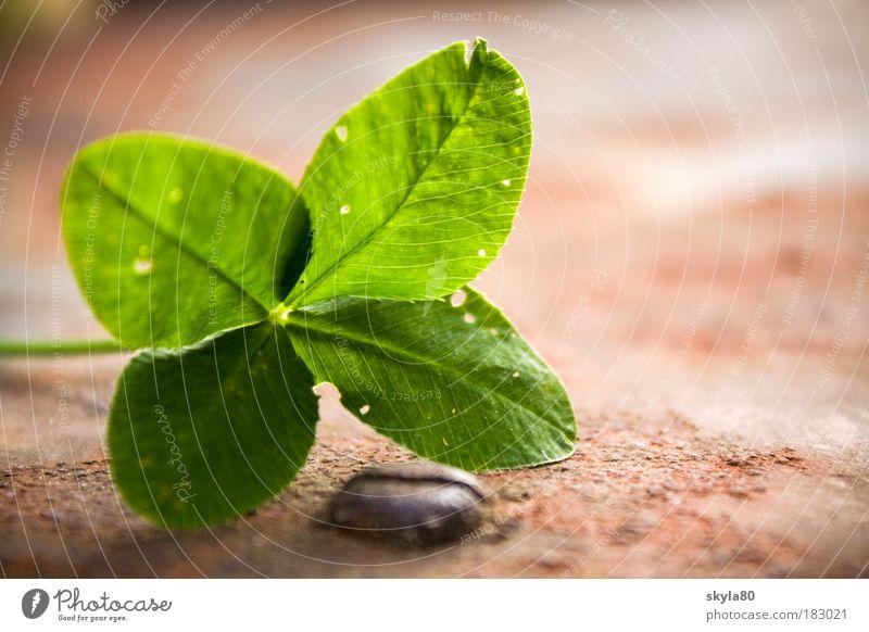 Glücksgefühl Kleeblatt Glücksklee Glücksbringer Wunsch Hoffnung Volksglaube Religion & Glaube vierblättrig Pflanze grün Symbole & Metaphern Freude Natur Rost