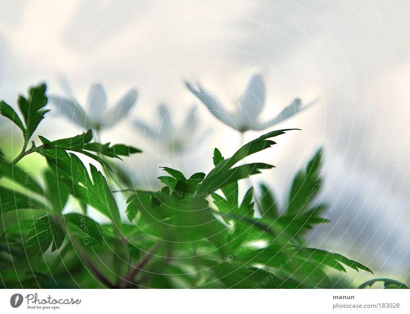 Frühlingserwachen Natur weiß grün Pflanze Blume ruhig Erholung hell Park außergewöhnlich Design Fröhlichkeit abstrakt Kreativität Duft