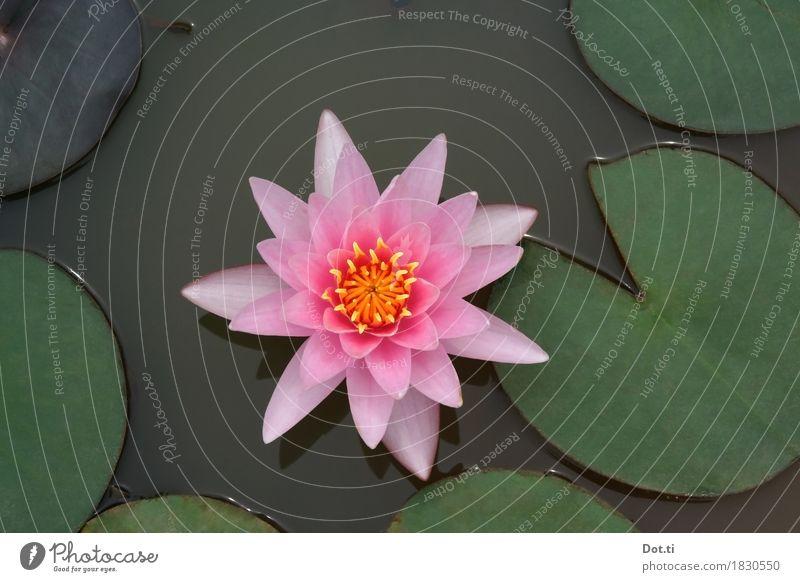 nymphéa Natur Pflanze Wasser Blume Blatt Blüte Teich See schön natürlich rosa Idylle rein Symmetrie Seerosen perfekt Farbfoto Außenaufnahme Nahaufnahme