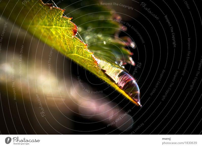 Frisch und klar Leben Wohlgefühl Sinnesorgane Natur Wasser Wassertropfen Herbst Blatt Nutzpflanze Brombeerblätter Erfrischung Lupeneffekt glänzend leuchten