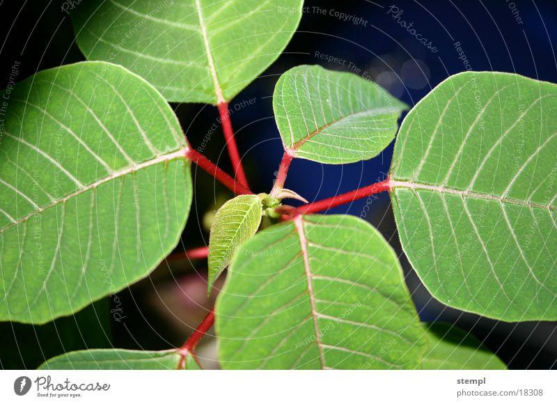 Weihnachtsstern grün Blatt nah Bildausschnitt Anschnitt Blattadern Zimmerpflanze
