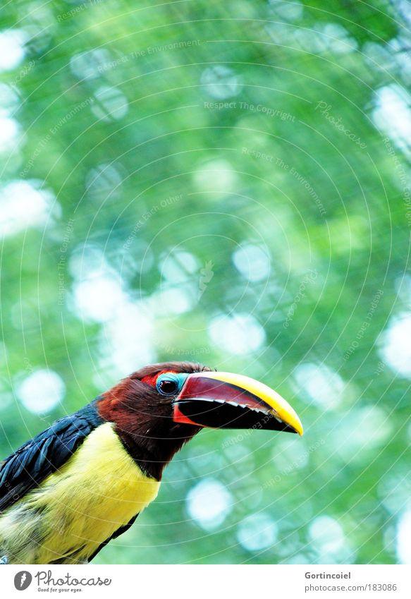 Grünarassari Zoo Umwelt Tier Sommer Wildtier Vogel Tiergesicht Flügel grünarassari Pteroglossus viridis Tukane exotisch mehrfarbig Blendenfleck Tierporträt