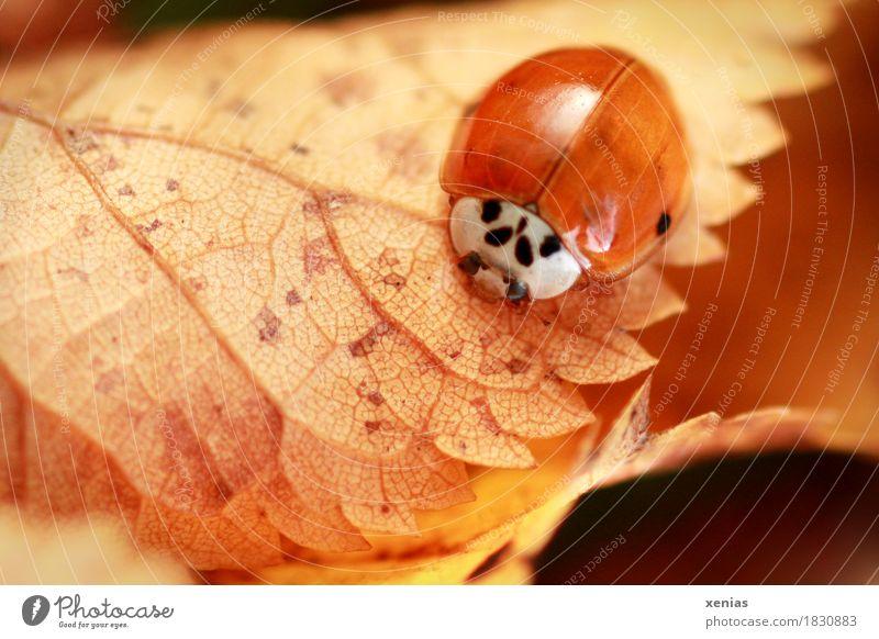 Marienkäfer im Herbst auf gelbem Blatt Käfer Flügel 1 Tier braun rot Glück Tierporträt Zähne Natur Makroaufnahme xenias krabbeln Schwache Tiefenschärfe Insekt