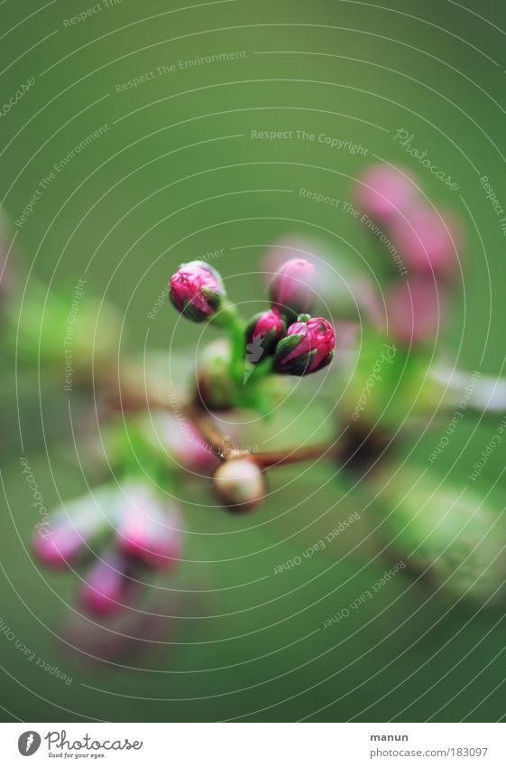 Kirschblüte Natur grün schön Frühling Blüte rosa Park Design frisch ästhetisch Beginn Blühend zart Blütenknospen Blütenblatt Gartenarbeit