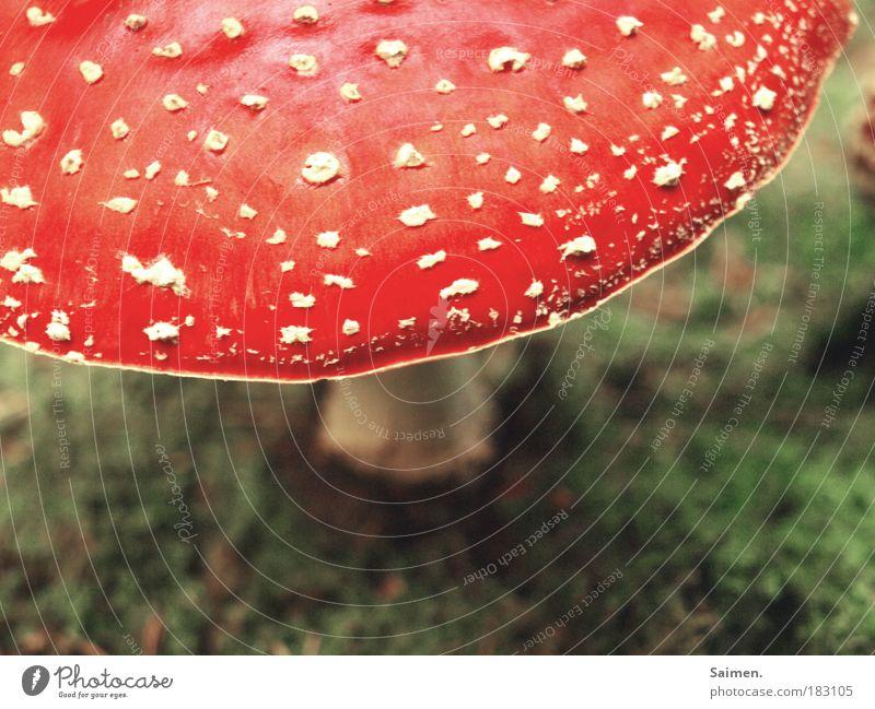 wie im märchen Farbfoto Gedeckte Farben Außenaufnahme Tag Licht Schatten Kontrast Natur Pflanze Pilz Fliegenpilz Moos Wiese Blühend entdecken stehen leuchten