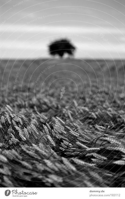 korn Schwarzweißfoto Außenaufnahme Menschenleer Textfreiraum oben Tag Licht Schatten Kontrast Silhouette Starke Tiefenschärfe Froschperspektive Natur Landschaft
