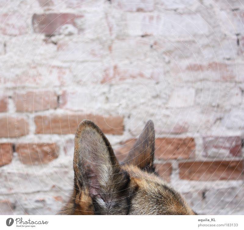 Lauschangriff Farbfoto Außenaufnahme Menschenleer Textfreiraum oben Starke Tiefenschärfe Tier Haustier Hund hören Überwachung überwachen Ohr Fell Mauer Stein