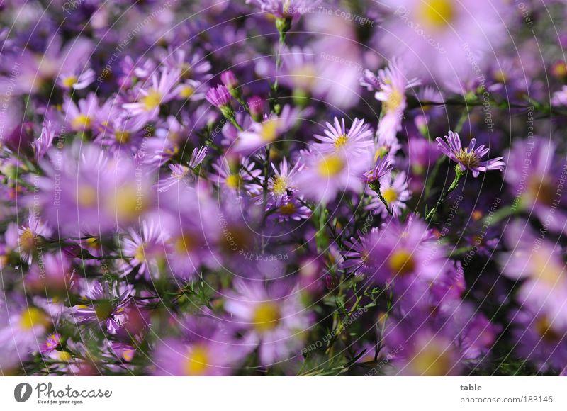 noch `n Blumengruß . . . Natur schön grün Pflanze Blatt gelb Herbst Blüte Park rosa ästhetisch Wachstum Sträucher violett einzigartig