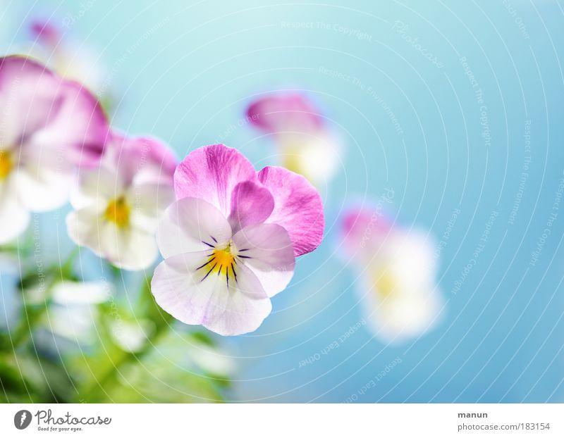 Mütterchen Natur blau Pflanze schön Blume Frühling Blüte Stil hell rosa Design frisch Fröhlichkeit Kreativität Freundlichkeit Kitsch