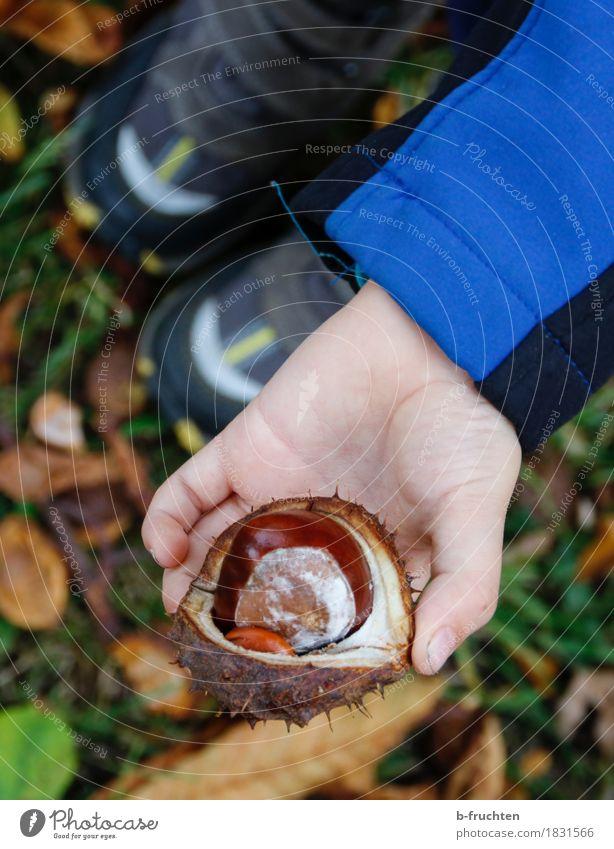 Kastanie wandern Junge 3-8 Jahre Kind Kindheit Herbst stehen kastanienschale Hand Finger Waldboden Blatt zeigen Sammlung finden Farbfoto Außenaufnahme Tag