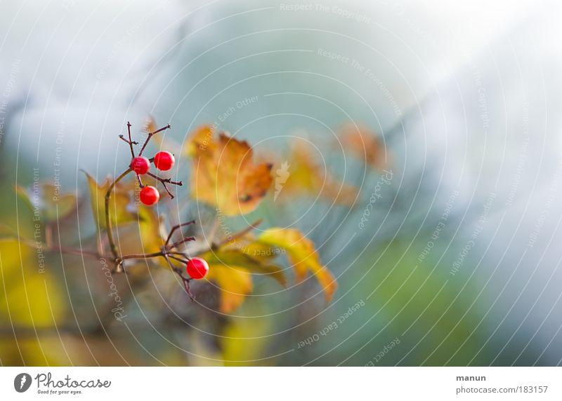 Beeriger Herbst Natur rot Pflanze ruhig Erholung gelb Park gold Nebel Sträucher Herbstlaub Beeren herbstlich Sinnesorgane Herbstfärbung