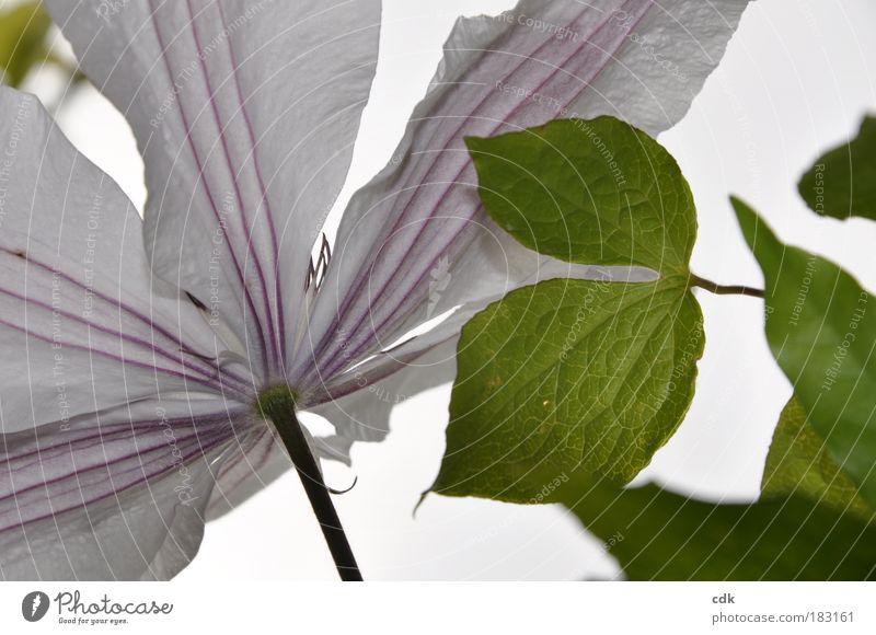 zarte Linienführung Natur schön weiß Blume grün Pflanze Sommer Blatt Leben Blüte Frühling Park Umwelt frisch ästhetisch