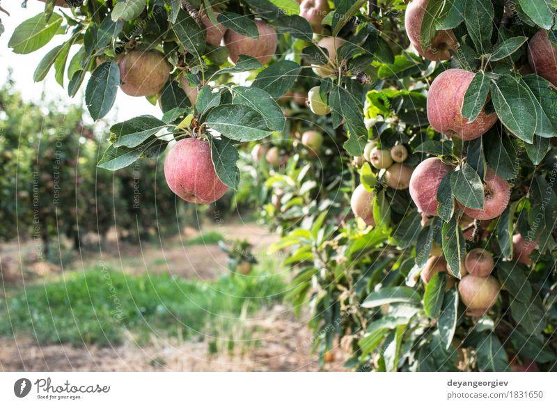 Roter Apfel Baum Natur Pflanze rot Blatt Herbst Garten Frucht Wachstum frisch Jahreszeiten Bauernhof Ernte Ackerbau ländlich