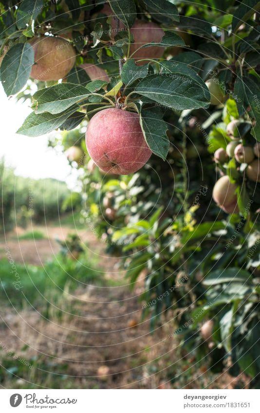 Roter Apfel Baum Frucht Garten Gartenarbeit Natur Pflanze Herbst Blatt Wachstum frisch saftig rot Obstgarten Hintergrundbeleuchtung Ast Bauernhof Ackerbau